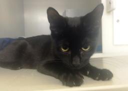 Kylo black kitten (1)