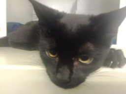 Kylo black kitten (5)